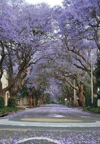 The Kensington Jacaranda Walk
