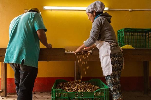 Amazon Brazil nut workers (Mohsin)